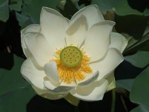 פרח-לוטוס